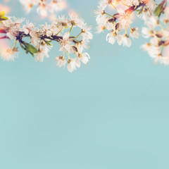 White cherry blossom at blue background, spring time nature
