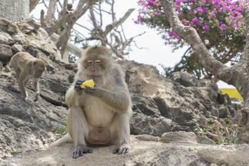 Old Long-tailed macaque or Crab-eating macaque eating raw corn happily while sitting on the rock