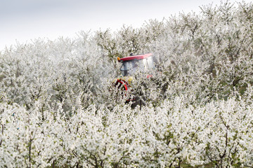 Tractor sprays insecticide in apple orchard field