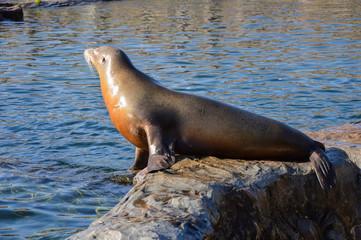 Seelöwe auf einem Fels