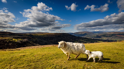 Brecon Beacons Sheep and Lamb close up at the Welsh Countryside in Wales