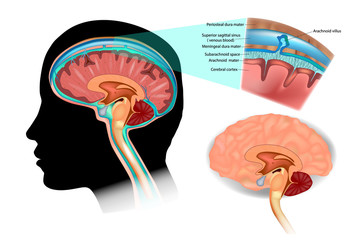 Diagram Illustrating Cerebrospinal Fluid (CSF) in the Brain Central Nervous System. Brain structure