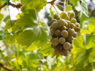 Bunch of fresh grapes are growing on plants,vineyard