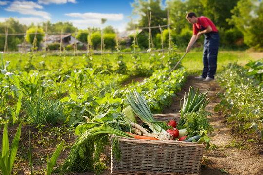 Fresh vegetable in wicker basket in garden