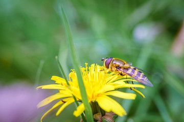 Wasp on the flower during spring in Pairs park, France, europe.Wasps need key resources such as pollen and nectar from a variety of flowers. True wasps have stingers that they use to capture insect