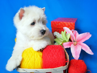 funny white west dogs puppy with coils of wool. greeting card