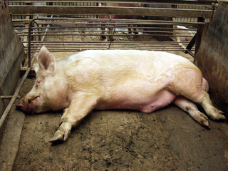 Pig on a pig farm in eastern Siberia