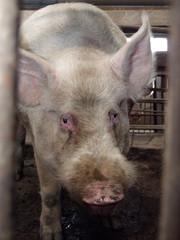 Pig on a pig farm in eastern Siberia