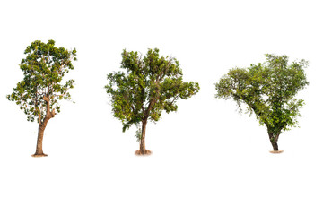 Trees Collection. Fresh and green tropical and garden tree isolated on a white background for world earth day concept.