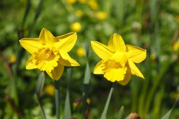 Garden Poster Narcissus Gelbe Narzissen