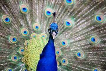 pavone maschio (Pavo cristatus)