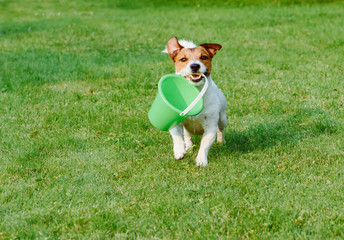 Friendly dog fetches a bucket at green grass garden lawn