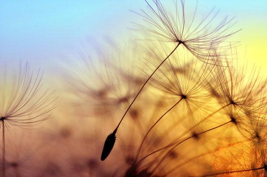 Spring dandelion in the light of setting sun, zen background