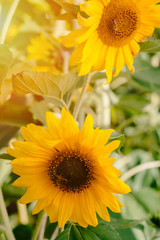 Flowers sunflower growing in field in large numbers