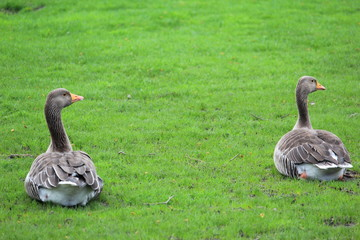 Synchronised Grey Geese in London Park