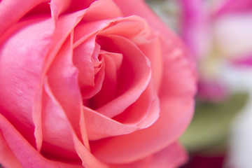 Macro photography of rose in garden