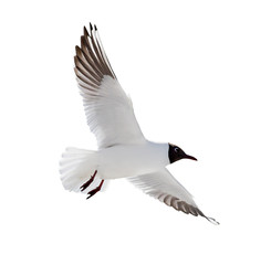 small isolated flying black headed gull
