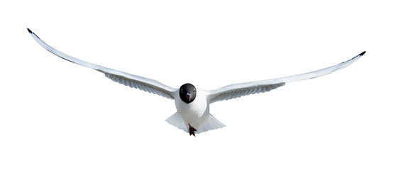 direct view on flying black headed gull