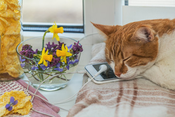 Sleeping red-white cat on mobile phone and headphones, delicious nutritious cereal breads and spring flowers on windowsill