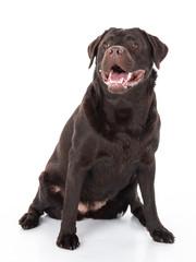 Labrador Retriever Show Linie