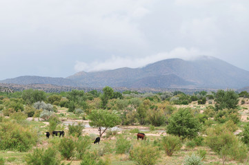 Southwestern landscape with cows, mountains and rain in distance