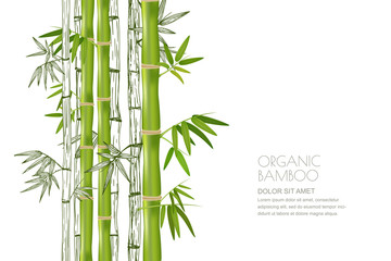 Vector bamboo plant isolated. Realistic and sketch illustration. Design for asian spa and massage, cosmetics package.