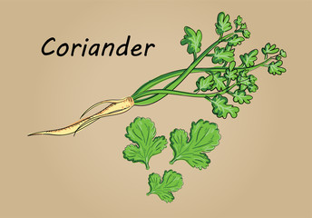 hand drawing illustration vector of coriander - each part is isolated and can arrange in the way you want