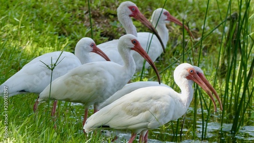 """ibis, vögel am wasser"""" stock photo and royalty-free images on"""