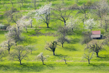 blossoming trees at spring time