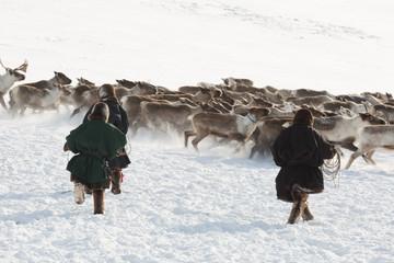 Three reindeer herders catching deer, Yamal, Russia