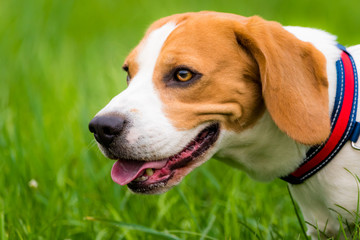 Beagle dog outdoor portrait