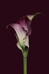 Calla lilly against plain background, purple