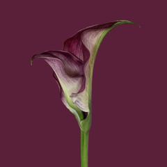 Calla lily against plain background, purple