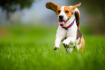 Beagle dog running through green field