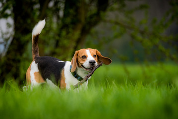 Beagle dog in a field