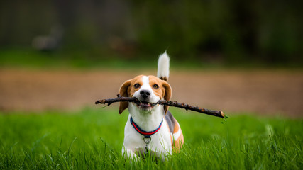 Beagle dog in a field with stick