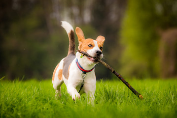 Beagle dog in a field runs with ears up and a stick