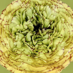 Ranunculus close-up, yellow and green