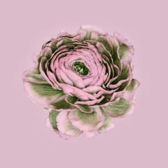 Ranunculus aganist plain background, pink