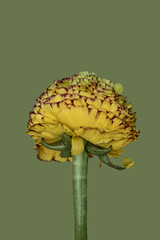 Ranunculus against plain background, yellow and green