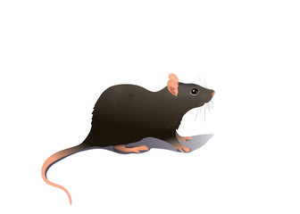 Common house mouse isolated on white background