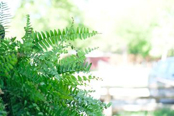 Vibrant green boston fern plant leaves under bright outside light.