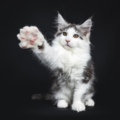 Kung fu black tabby with white Maine Coon cat / kitten sitting isolated on black background with one paw wide angle in air