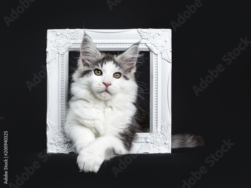 Black tabby with white Maine Coon cat / kitten laying through white ...