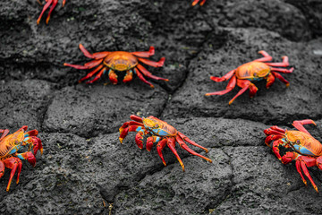 Sally Lightfoot Crabs on Galapagos Islands eating on rock. AKA Graspus Graspus and Red Rock Grab. Wildlife and animals of the Galapagos Islands, Ecuador. Famous iconic animal in Galapagos.