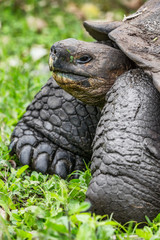 Galapagos Giant Tortoise walking on Santa Cruz Island in Galapagos Islands. Animals, nature and wildlife nature close up of tortoise in the highlands of Galapagos, Ecuador, South America.