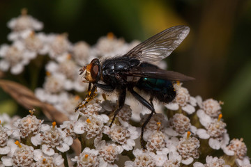 Housefly is sitting on a yarrow flowers. Animals in wildlife.