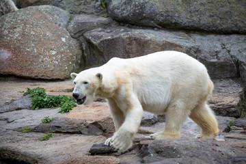 Polar Bear at the Berlin Zoo in Germany
