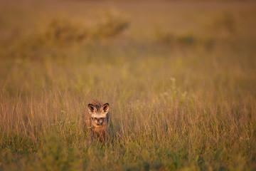 Close up Bat-eared fox, Otocyon megalotis, small african carnivore in its typical environment, arid savanna in dusk, staring directly at camera. African wildlife photography, Nxai Pan, Botswana