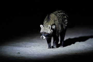 Close up African civet, Civettictis civetta, night photo of wild, largest civet from front view. Nocturnal african predator. Wildlife photography, self drive safari in Moremi national park, Botswana.